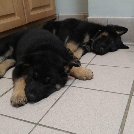 Puppies At Veterinary Hospital, Veterinary Hospital Western MA