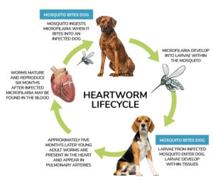 heartworm life cycle, heartworm testing, heartworm prevention